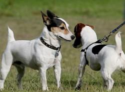 jack russell terriers meeting