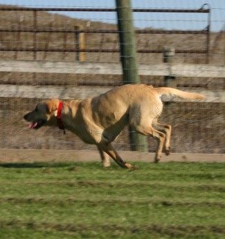 golden lab running across grass
