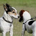 jack_russell-terriers-tmb