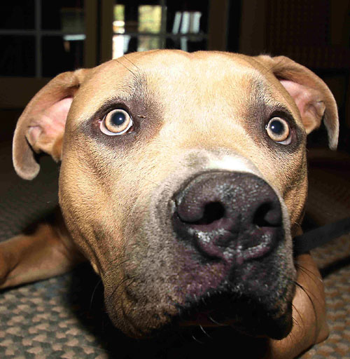 pit bull dog with surprised curious look in golden eyes