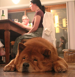 chow family dog napping on floor near dinner table