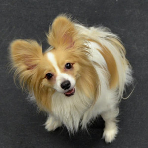 Papillon Playdate