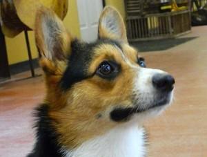 photo of dog ready for dog training device