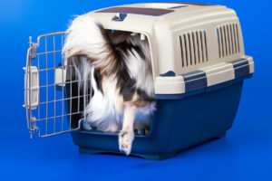 Young papillon in dog create
